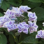 ガクアジサイ 薄紫 八重