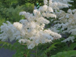 Kirilow false spiraea/ニワナナカマド