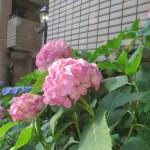 アジサイ ピンク色