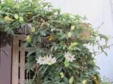 トケイソウ 蔓と花