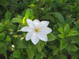 クチナシ 開花直後の若い花(何故か8弁)