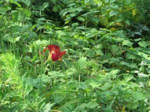 ノカンゾウ 花の姿