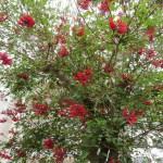 サンゴシトウ 満開近い木の全景