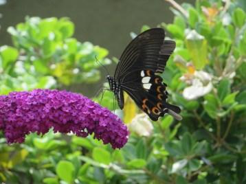 フジウツギ・ブッドレアと揚羽蝶