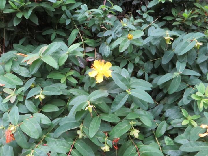 セイヨウキンシバイ 植物の全景
