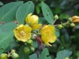 キンシバイ 花のアップ