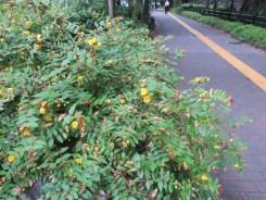 キンシバイ 植物全体の様子