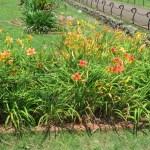 ヘメロカリスの草の姿
