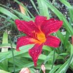 Orange Daylily/ノカンゾウ