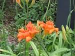 Orange Daylily/ヤブカンゾウ
