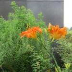 ヤブカンゾウ 花のアップ