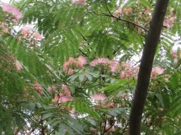 Silk tree ネムノキの花