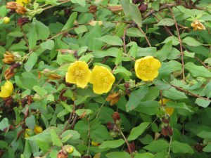 キンシバイ Flowers of Hypericum patulum