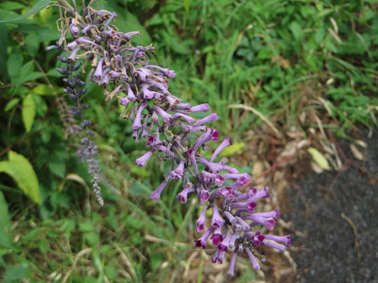 Weeping Butterfly Bush/ トウフジウツギ