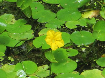 Fringed water-lily/ アサザ