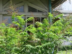 ニワナナカマドの木の姿
