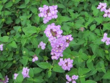 Flower of weeping lantana コバノランタナ