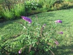 フジウツギ 植物の全景