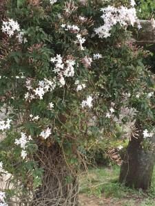 ハゴロモジャスミン アーチに絡まる花