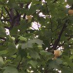 Tulip tree/ ユリノキ