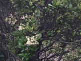 ネズミモチ 木の姿