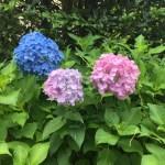 アジサイ 微妙な色の違いの花