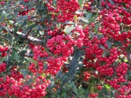 トキワサンザシの赤い実(アップ)