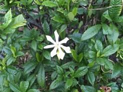 クチナシ 開花後花びらが細くなった花
