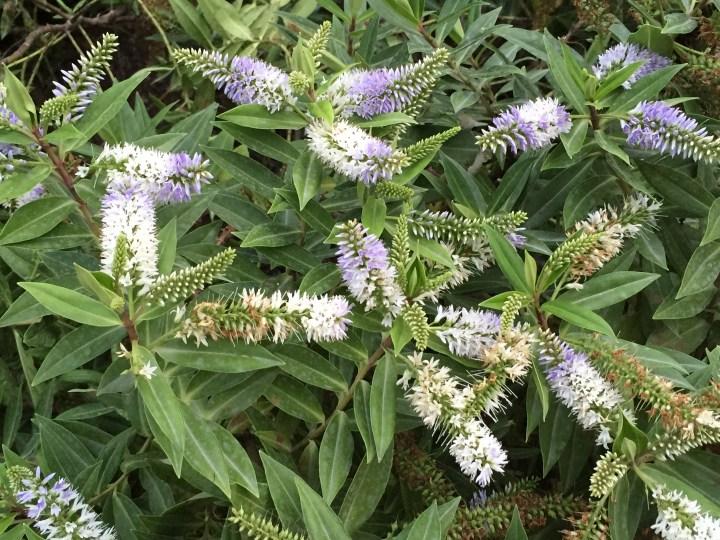 トラノオノキ 花と植物の様子