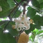 オオミレモン Lemon ponderosaの花