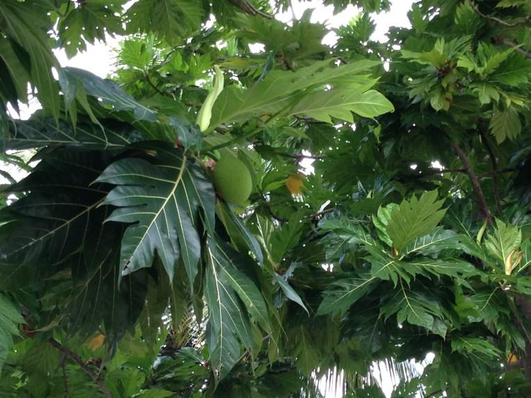 Breadfruit/ パンノキ