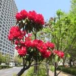 深紅のシャクナゲの花