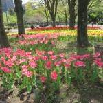 公園のチューリップ花壇