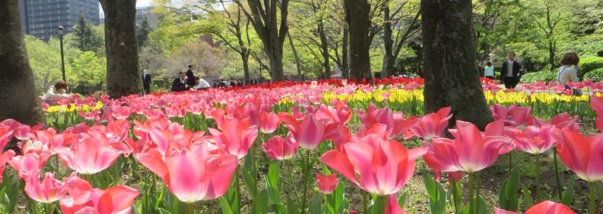 Tulip/ チューリップ