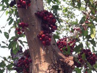 Cluster fig/ ウドンゲノキ