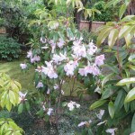 セイシカ 木と花の様子