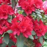 鮮やかな赤色のシャクナゲの花