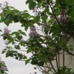 キリ 花の姿