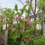 ベニバナエゴノキ 木の様子