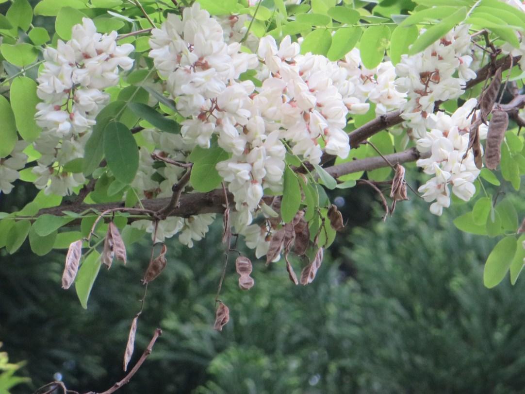 ニセアカシア 花の様子