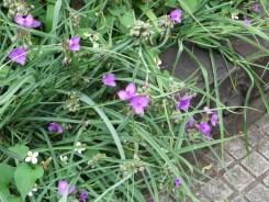 ムラサキツユクサの草の様子