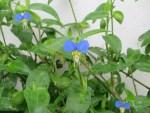 Asiatic dayflower/ツユクサ