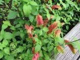 コエビソウの花