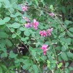 ツクシハギ 花と枝の様子