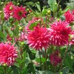 Dahlia/ ダリアの花