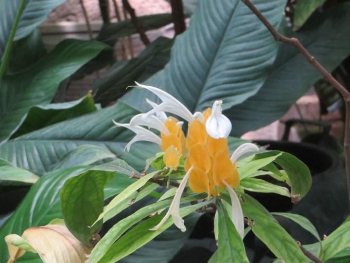 Lollipop plant ウコンサンゴバナ