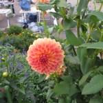綺麗な色のダリアの花