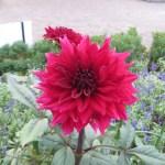 赤色系 ダリアの花