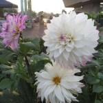 白色系 ダリアの花