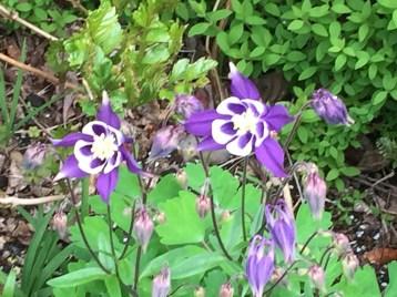 青色のオダマキの花